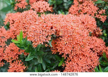 close up red Ixora coccinea flower in garden