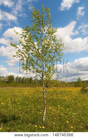 Birch on a spring meadow with dandelions