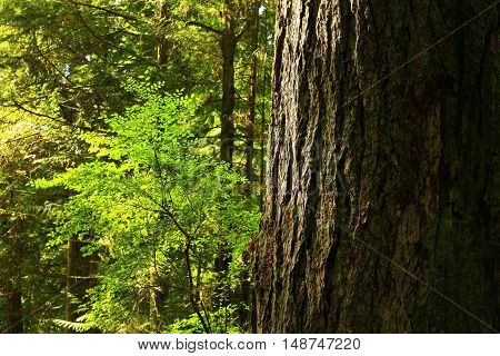 a picture of an exterior Pacific Northwest forest with a old growth Douglas fir tree