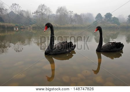 Two black swans in a muddy water