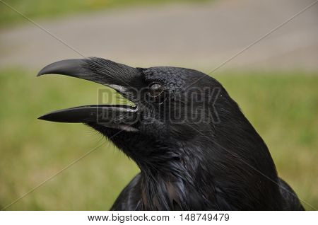 The common raven (Corvus corax), also known as the northern raven