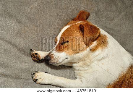 A Jack Russell puppy sleepy on a Grey cushion