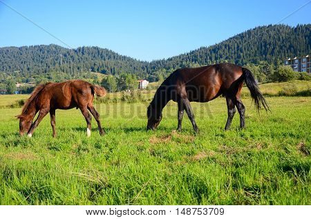 horses on green field eating fresh grass caucasus in mountains