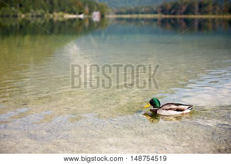 Duck Swimming In Lake Offensee In Austria