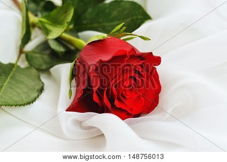 beautiful red rose on white silk isolated