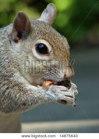 Grey squirrel enjoying a peanut