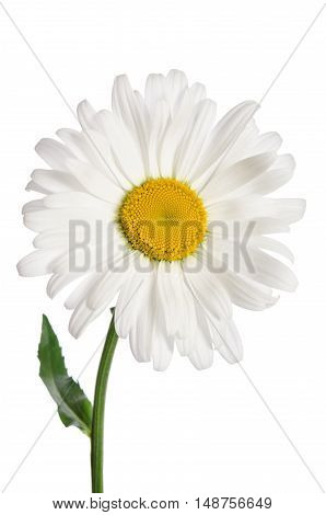 beautiful chamomile flower on a white background