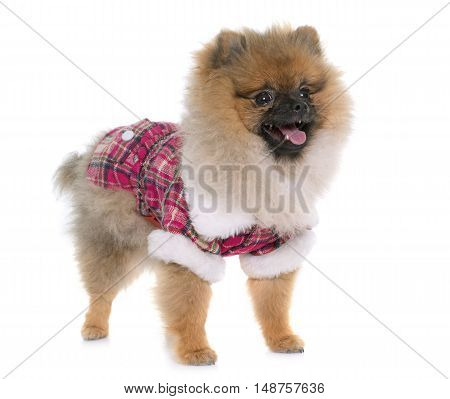 young pomeranian dog dressed in front of white background