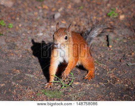 Old squirrel