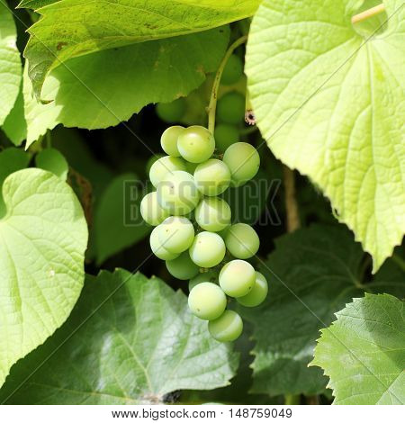 bunch of green grapes on a background of leaves at sunset in the summer / berries ripen in the sun