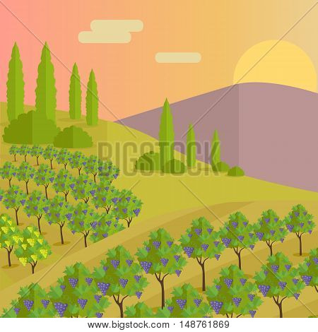Vineyard plantation of grape-bearing vines, grown mainly for winemaking, raisins, table grapes and non-alcoholic juice. Vinegrove green valley.