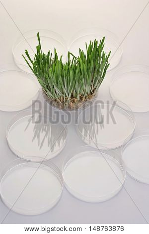 Grass seedlings in petri dish, elevated view