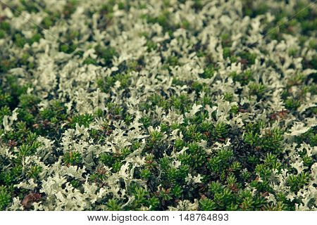 Mosses and lichens closeup - northern tundra. Background.