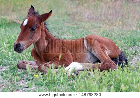 Little Baby Horse Lying On A Fresh Green Grass