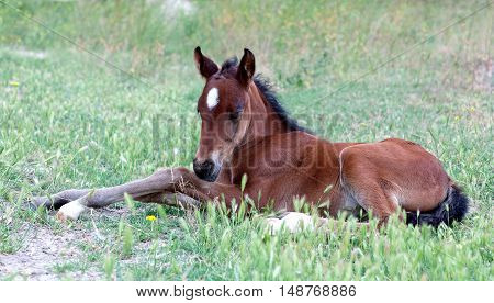 Little Baby Horse Laying On A Fresh Green Grass