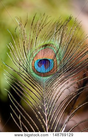 Colorful Indian peafowl tail eye shining up on sun light