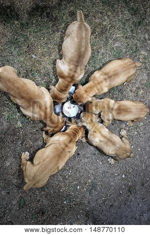 Puppies Boerboel - South African bulldog - Feeding meat