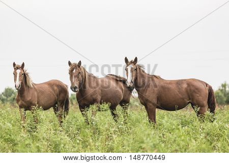 Beautiful brown horses in the green meadow.