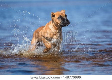 red cane corso puppy on a beach
