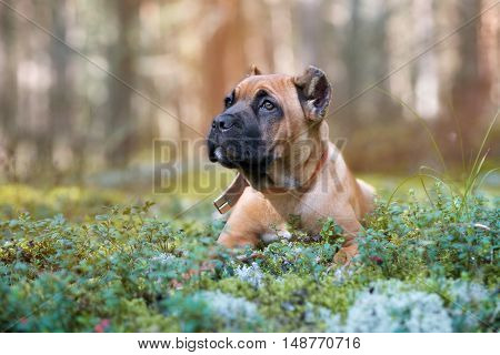 adorable red cane corso puppy lying down outdoors