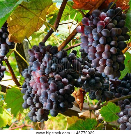 bunches of grapes on the vine and sky