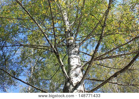 The trunk of birch close up in birch grove on clear day in early autumn