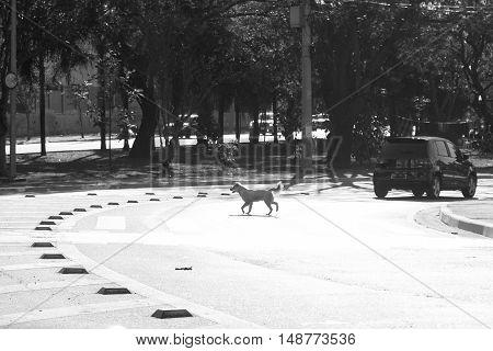Crossbreed abandoned dog crosses street after car passes