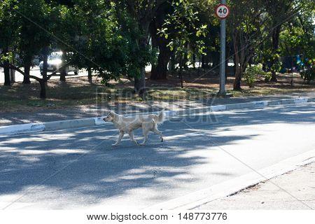 Crossbreed abandoned dog walks on city street
