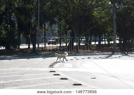 Crossbreed abandoned dog crosses road on crosswalk