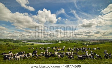 Cows on pasture grazing near the town.