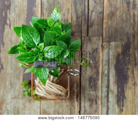 Fresh basil leaves in a metal basket over wooden background