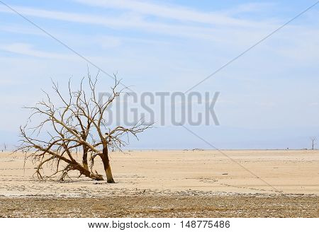 Dead tree in a dried out part of the Salton Sea near Calipatria in California USA.
