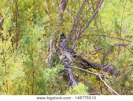 Greater Roadrunner sitting in a tree near Calipatria in California USA.