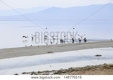 Pelican colony and some seagulls on the shore of the Salton Sea near Bombay Beach in California USA.