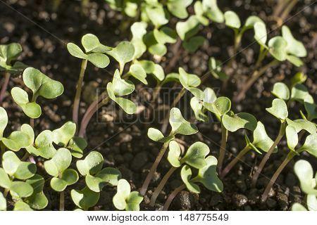A lot of cabbage buds which exposing to sun