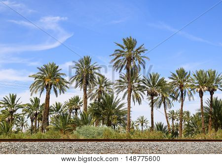 MECCA, CALFORNIA, USA - MAY 26, 2015: Palm trees at a date farm near California State route 111.