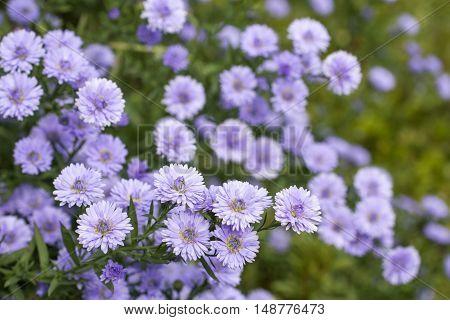 Purple perennial aster flowers in green field