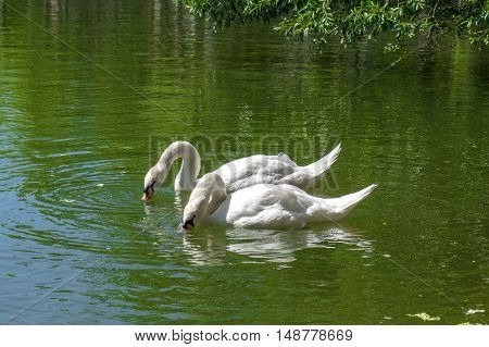 Two white beautiful swans drinking water in the lake, in the park Estany de Puigcerda, in Puigcerda, Girona, Catalonia, Spain