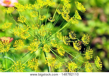 Green dill flowers (close up) in the garden