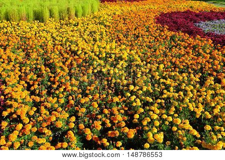 Large flowerbed with yellow and an orange marigolds