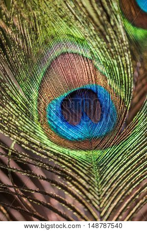 Close-up of Indian peafowl tail eye. Shining on sunlight