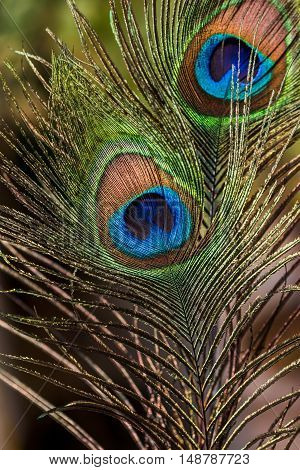 Fluffy colorful Indian peafowl tail eye. Shining on sun light