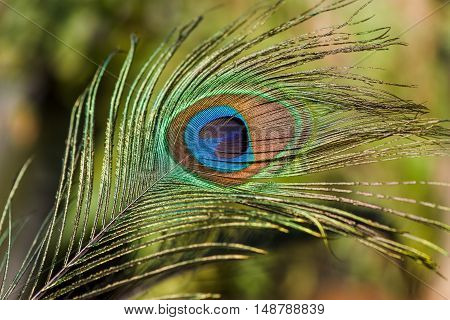 Indian peafowl tail eye shining up and isolated