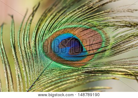Indian peafowl tail eye brightening on light