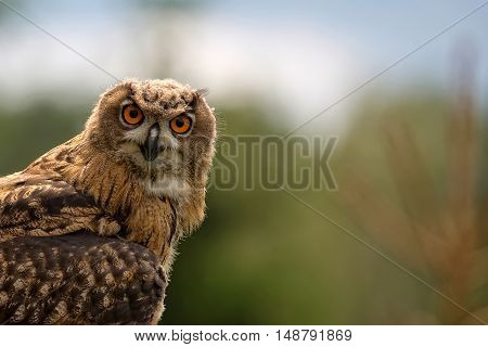Eagle-owl in the wild, a portrait in the forest