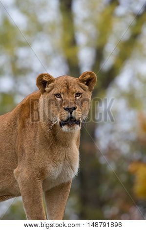Lioness in a clearing in the wild, a portrait