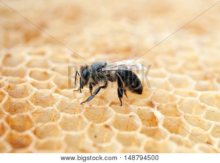 Close up of bee in a beehive on honeycomb