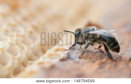 working bee on honeycomb. A close up
