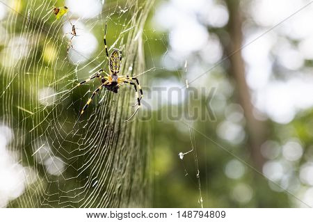 Spider with prey on web in natural forest