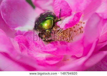 green chafer climb on the pink rose petal (Cetonia aurata)